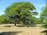 081 - (1535) Algarrobo. De los arbustos silvestres, el primero en ser utilizado fue el algarrobo, cuyos frutos habían servido a los nativos del norte, desde tiempos precolombinos, para preparar una clase de aloja y cierto pan.