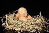 002 - Tienen el cuerpo recubierto de plumas y, las aves actuales, un pico córneo sin dientes. Para reproducirse ponen huevos, que incuban hasta la eclosión.