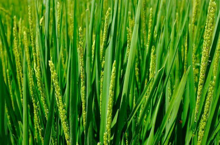 08 - La Paella - El motivo por el que el Concurso Internacional de Paella se celebra en Sueca no es otro que porque aquí es donde se produce más arroz de España. Se cultivan unas 5.000 hectáreas, que producen unas 35.000 toneladas anuales de arroz.