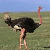 007 - Hasta 2,74 metros en el avestruz. Los comportamientos son diversos y notables, como en la anidación, la alimentación de las crías, las migraciones, el apareamiento y la tendencia a la asociación en grupos.