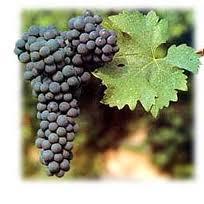 (20) 65 millones de años (aC) - Aparece la planta vitis en la Tierra durante la era terciaria.  Es el período lignítico.