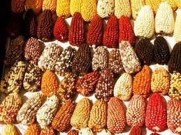 15 – (1533) La alimentación principal, esencial, es el maíz, en decenas de variedades y también como bebida, de muchas clases, con y sin alcohol. La papa, la consumen diariamente, hay muchas diferentes, la guardan secada al sol y dura mucho, la llaman chuño y tunta. La carne de llama y alpaca, una especie de camellos muy hermosos, es secada y deshilachada y también tienen unos conejillos muy apreciados llamados cuy y muchas perdices, pescado fresco, seco y salado y abundante chicha (azua).