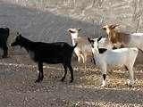 132 – (1536) Las cabras - las que han llegado de España, se han multiplicado en gran cantidad, especialmente en la costa norte, en Piura, los bosques de algarrobo les proporcionan un alimento muy nutritivo, les gusta y crecen más rápido que en España...