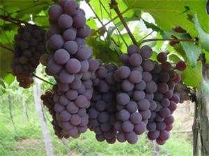 07 - Como quiera que en la cuenca mediterránea, que es donde se escribió la historia de las culturas occidentales, la fruta que producía el mejor de los caldos era la uva,